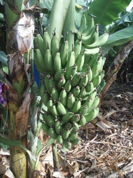 אשכול בננות בצמח (צילום דני בר)