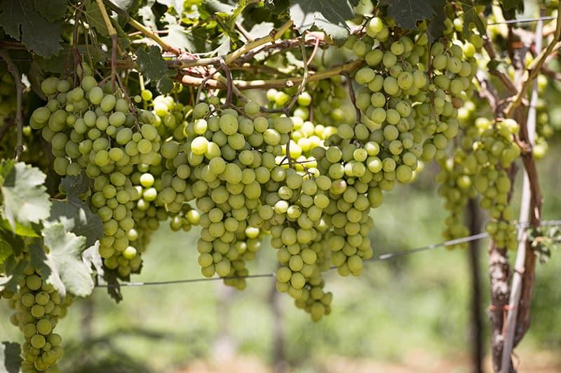 ענבי יין לבנים (צילום דני בר)