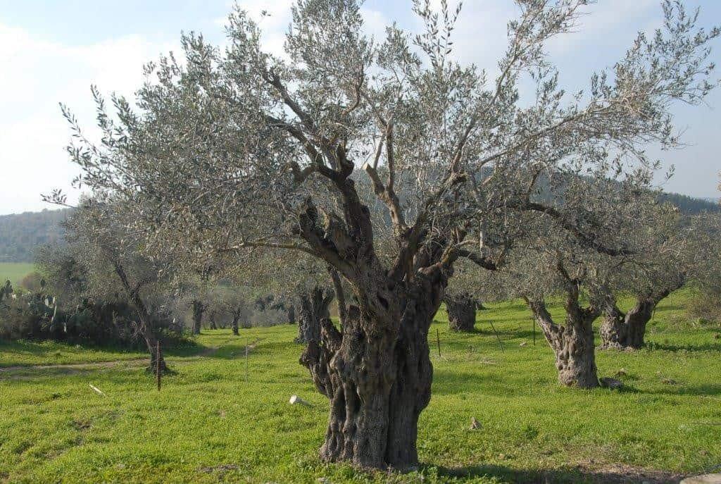עצי זית עתיקים בגליל (צילום דני בר)