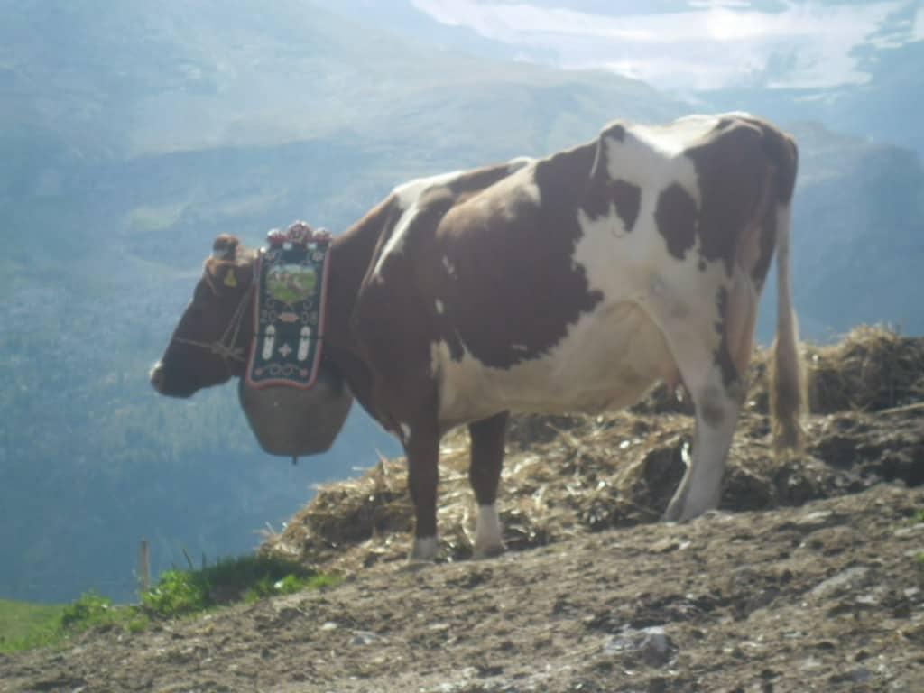 פרה שוויצרית במרומי האלפים (צילום דני בר)