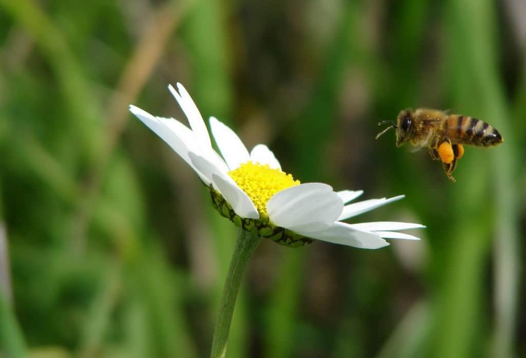 דבורה ופרח (צילום באדיבות מועצת הדבש)