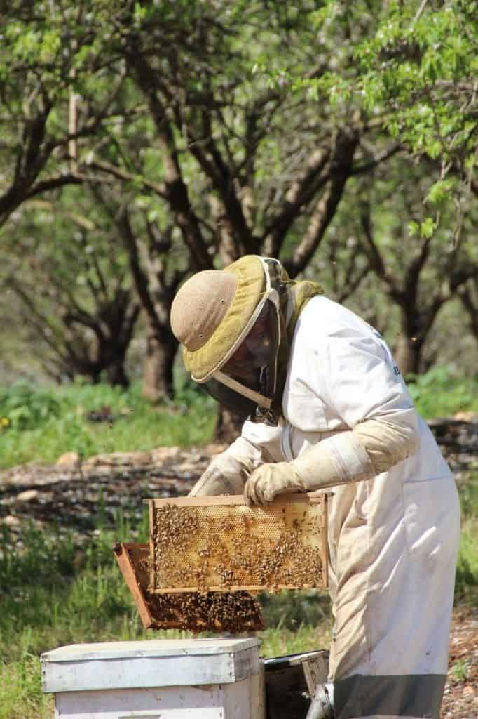 דבוראי בפעולה במכוורת אלון הגליל (צילום אדוה אופיר)