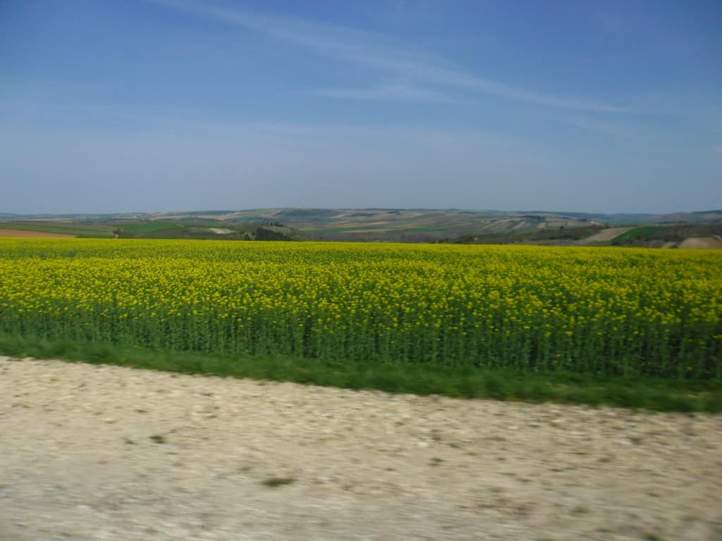 משטחים צהובים של צמח החרדל באיזור דיז'ון (צילום דני בר)
