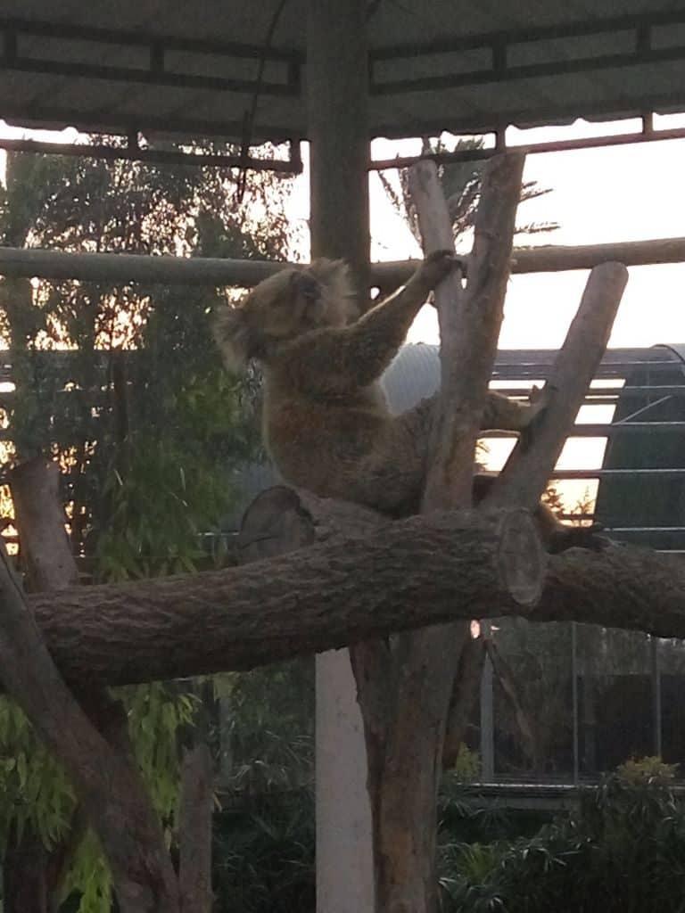 קואלה עצלה בגן גורו (צילום דני בר)