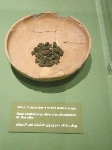 חרצני זיתים שנמצאו ומעידים על גילם- 1000 לפני הספירה (צילום דני בר)