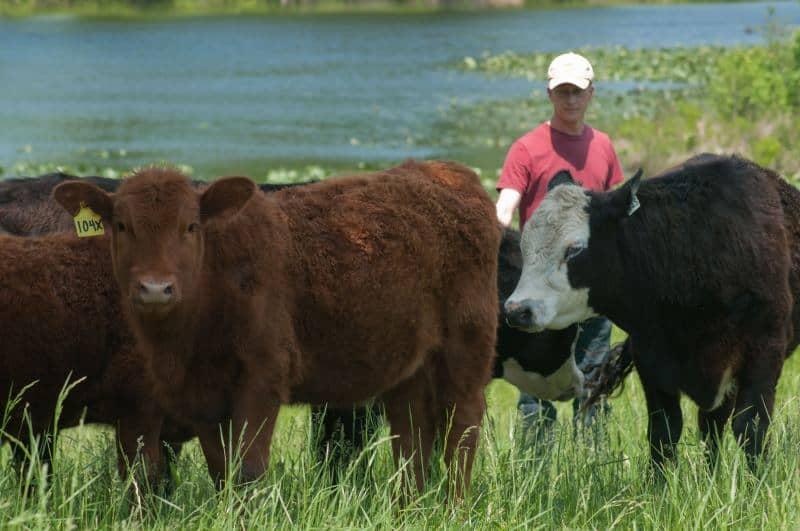 """ראשי בקר אנגוס אמריקאי (צילום יח""""צ USDA)"""