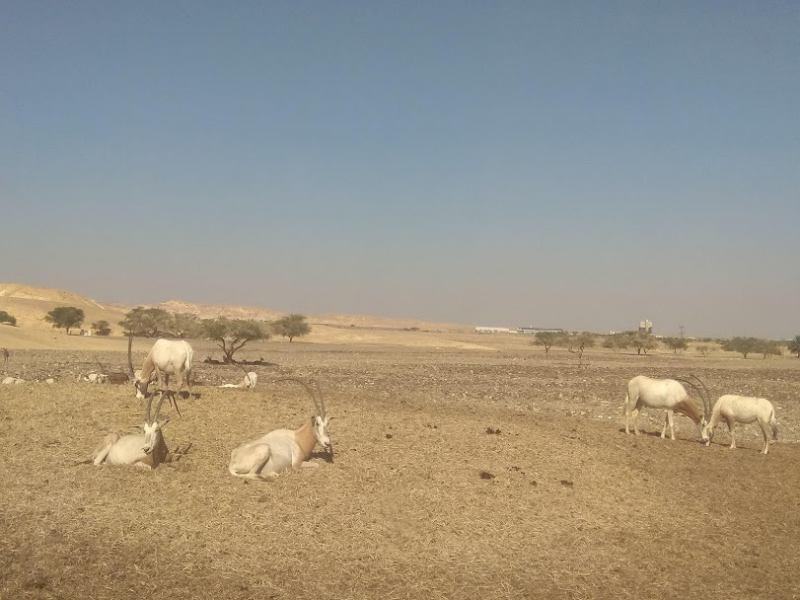 חוות האנטילופות בערבה (צילום דני בר)